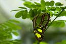 Malakitfjäril (Siproeta stelenes)