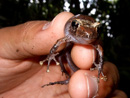 a Rain frog (Craugastor sp)