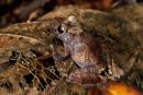 Regngroda (Craugastor sp)