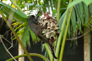 Svartryggad tamarin (Saguinus nigricollis)