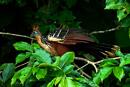 Hoatzin (Opisthocomus hoazin) aka Stinking Turkey