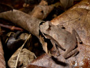 A forest toad (Rhinella sp, possibly margaritifera species complex)