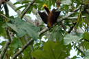 Russet-backed Oropendola (Psarocolius angustifrons) making it's jungle sound