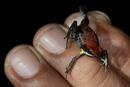Ecuadoriansk pilgiftsgroda (Ameerega bilinguis)