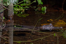 Dvärgkajman (Paleosuchus trigonatus)