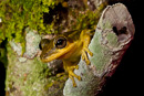 treefrog (Hypsiboas sp)