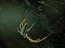 Gyllenhjulspindel (Nephila maculata)