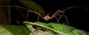 En lockespindel (ordning Opiliones)