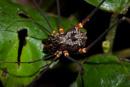 A harvestman arachnid (order Opiliones)