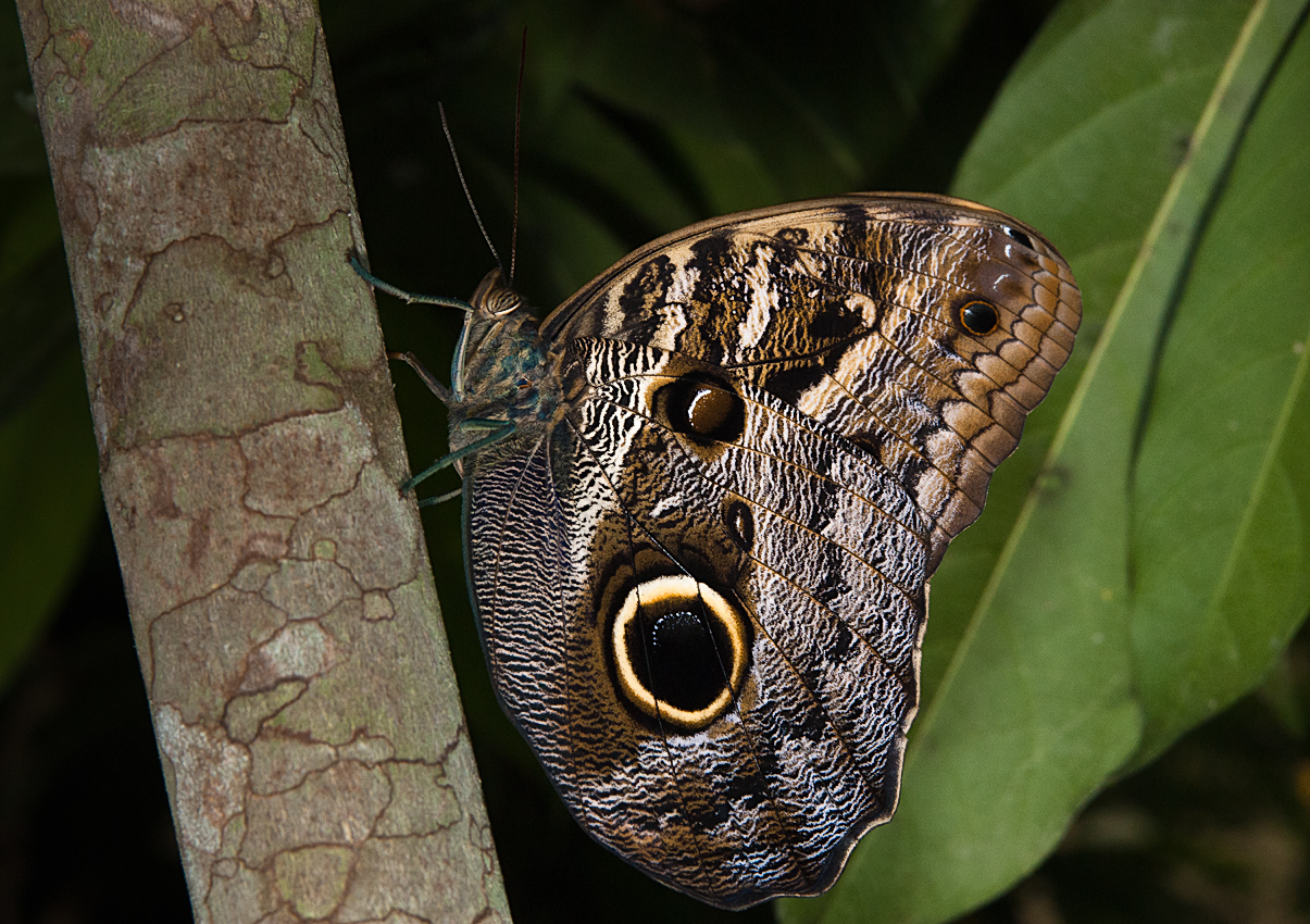 Owl-eye butterfly (Caligo sp)