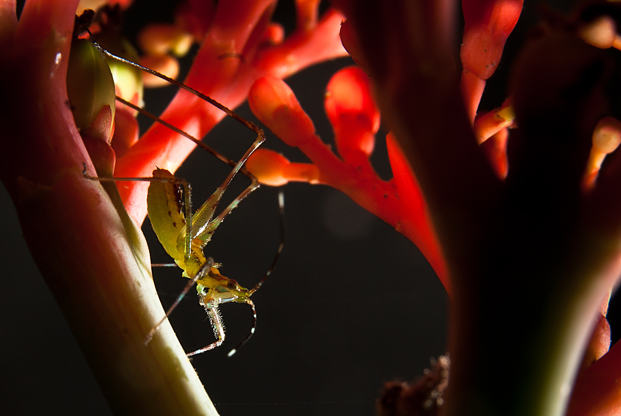 A tiny bush cricket