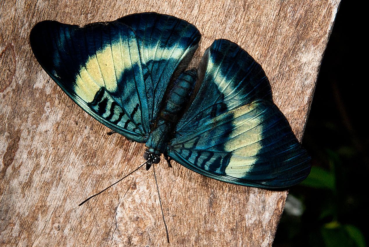 Morpho butterfly (Morpho sp)