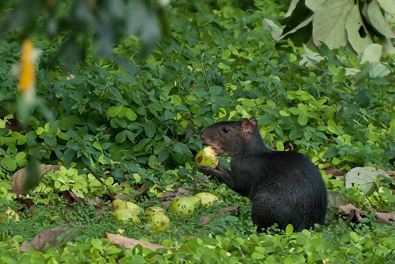 Black agouti (Dasyprocta fuliginosa)