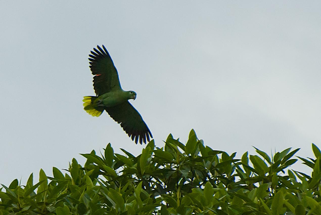 Mealy Amazon (Amazona farinosa)