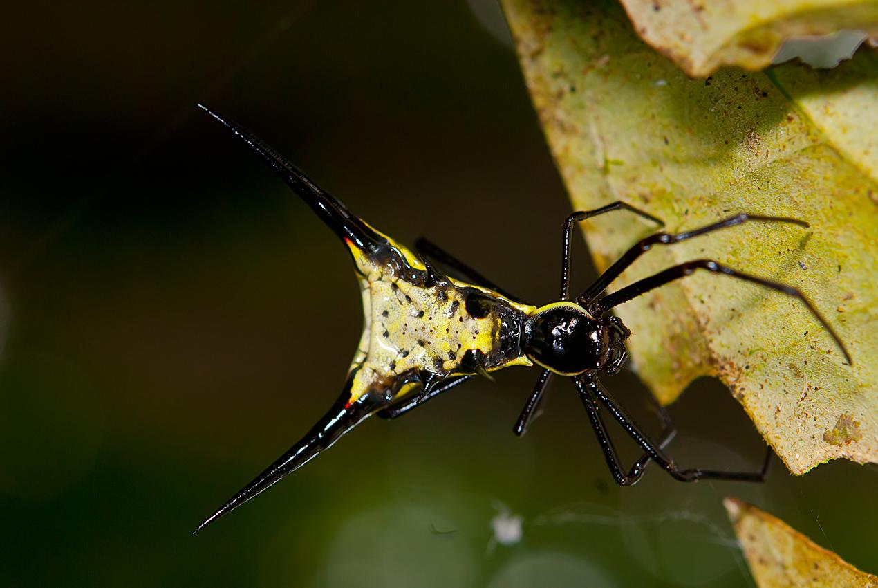 A spiny spider (Micrathena guanabara?)