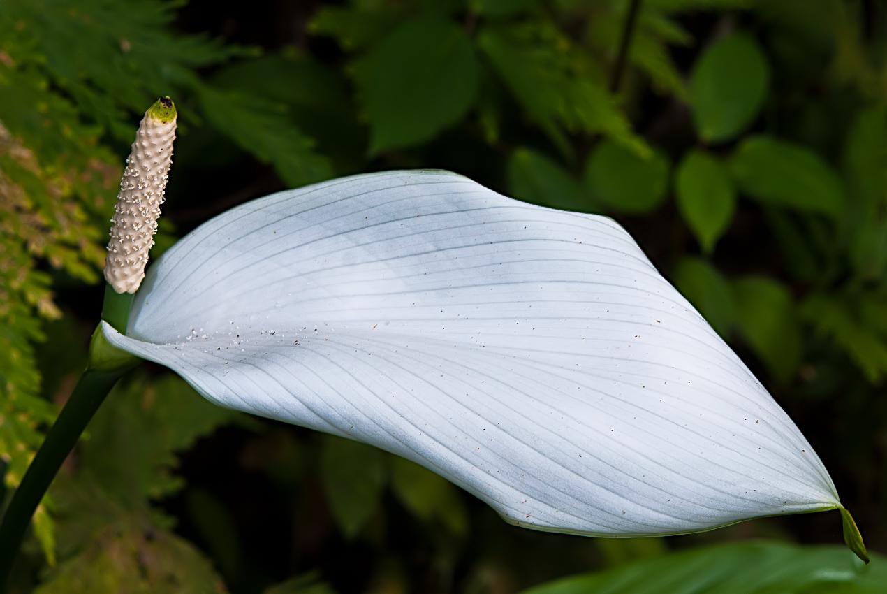 An aroid (Araceae family)