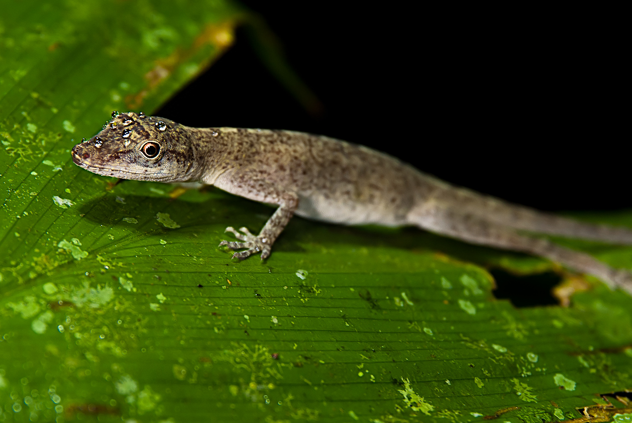 Anole lizard (Anoli sp)