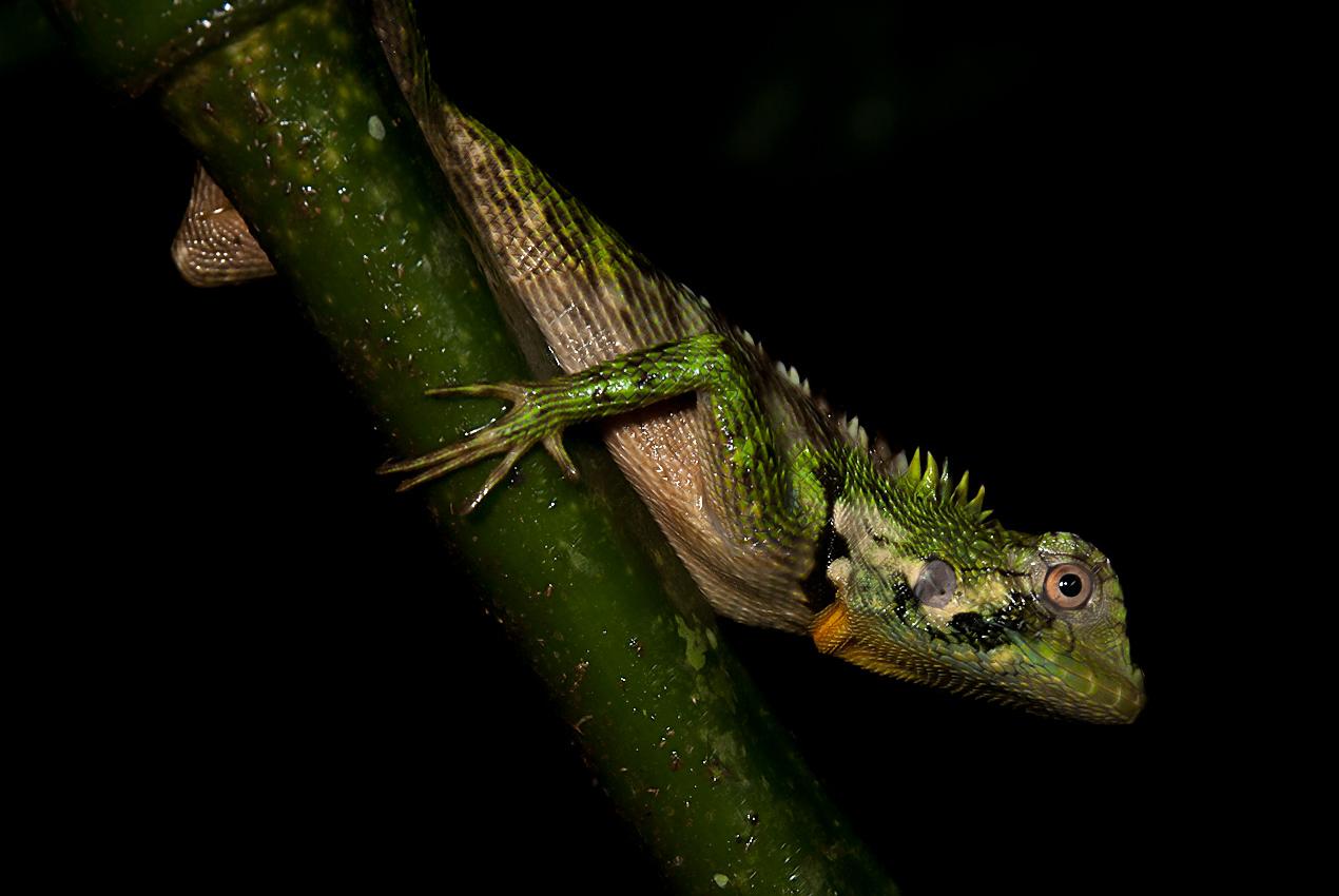 Amazon Forest Dragon (Enyalioides laticeps)