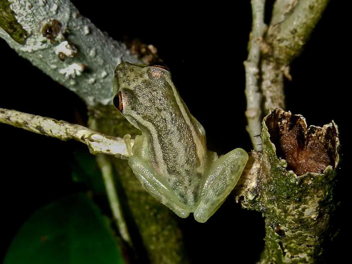 tree frog (Hylinae subfamily)