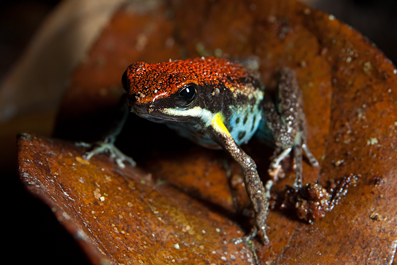 Ecuador poison dart frog (Ameerega bilinguis)