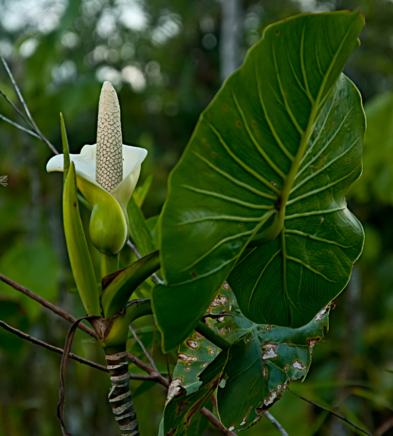 An aroid (Araceae family)