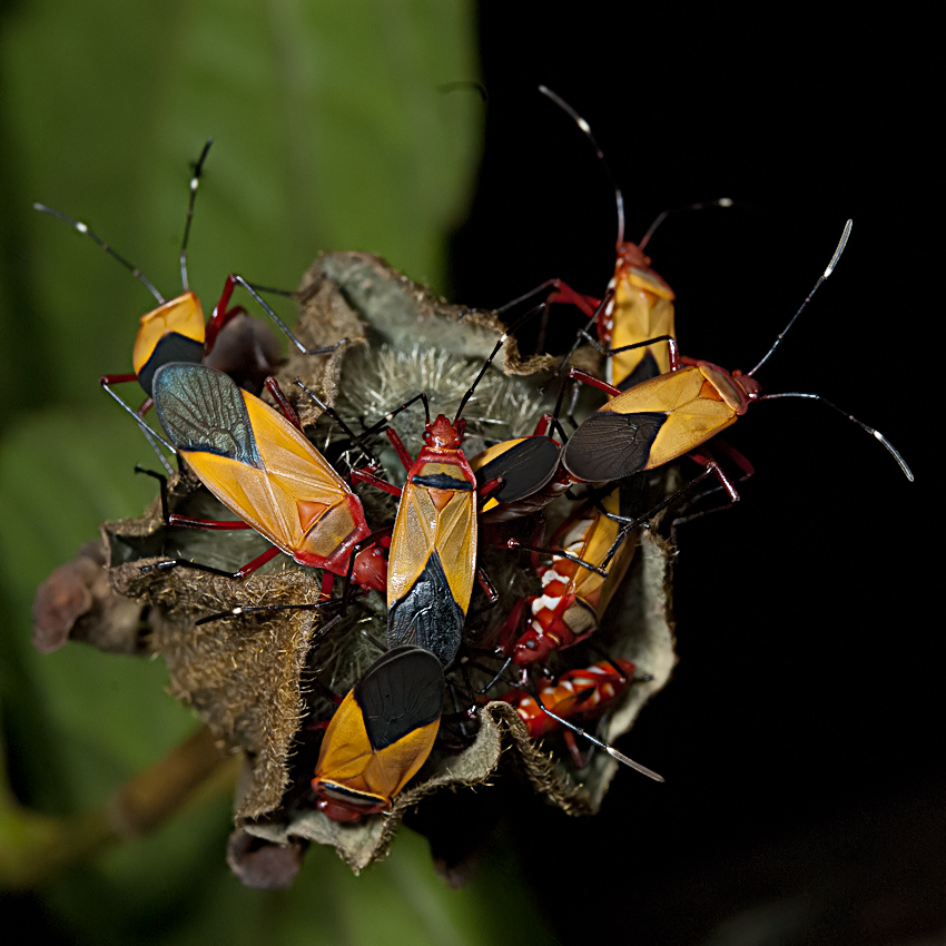 A species of stink bugs (Pentatomidae family)