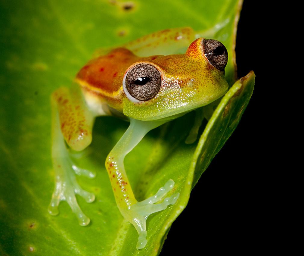 Polka-dot Treefrog (Hypsiboas punctatus)