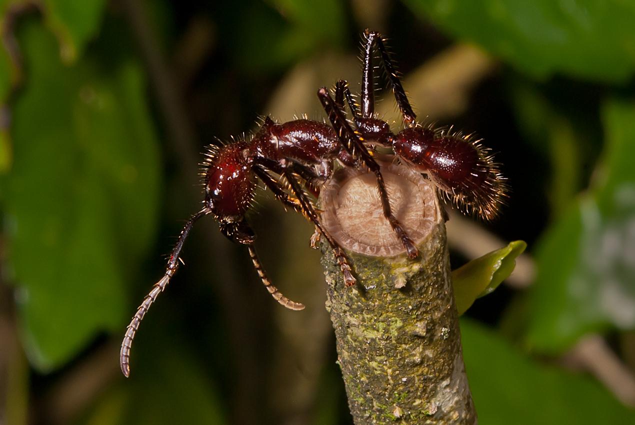 An impressive 2 cm long ant