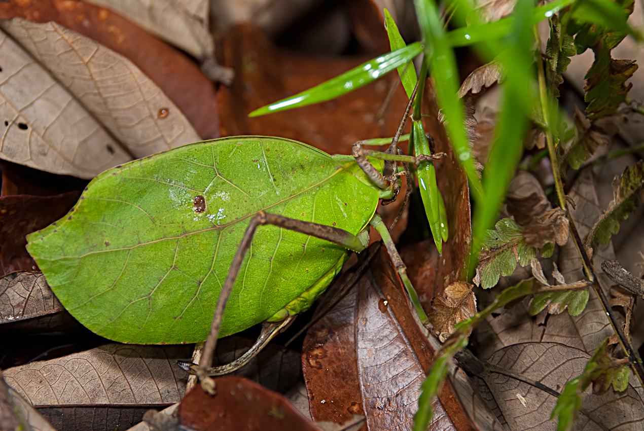 A leaf-mimic bush cricket (katydid for americans)