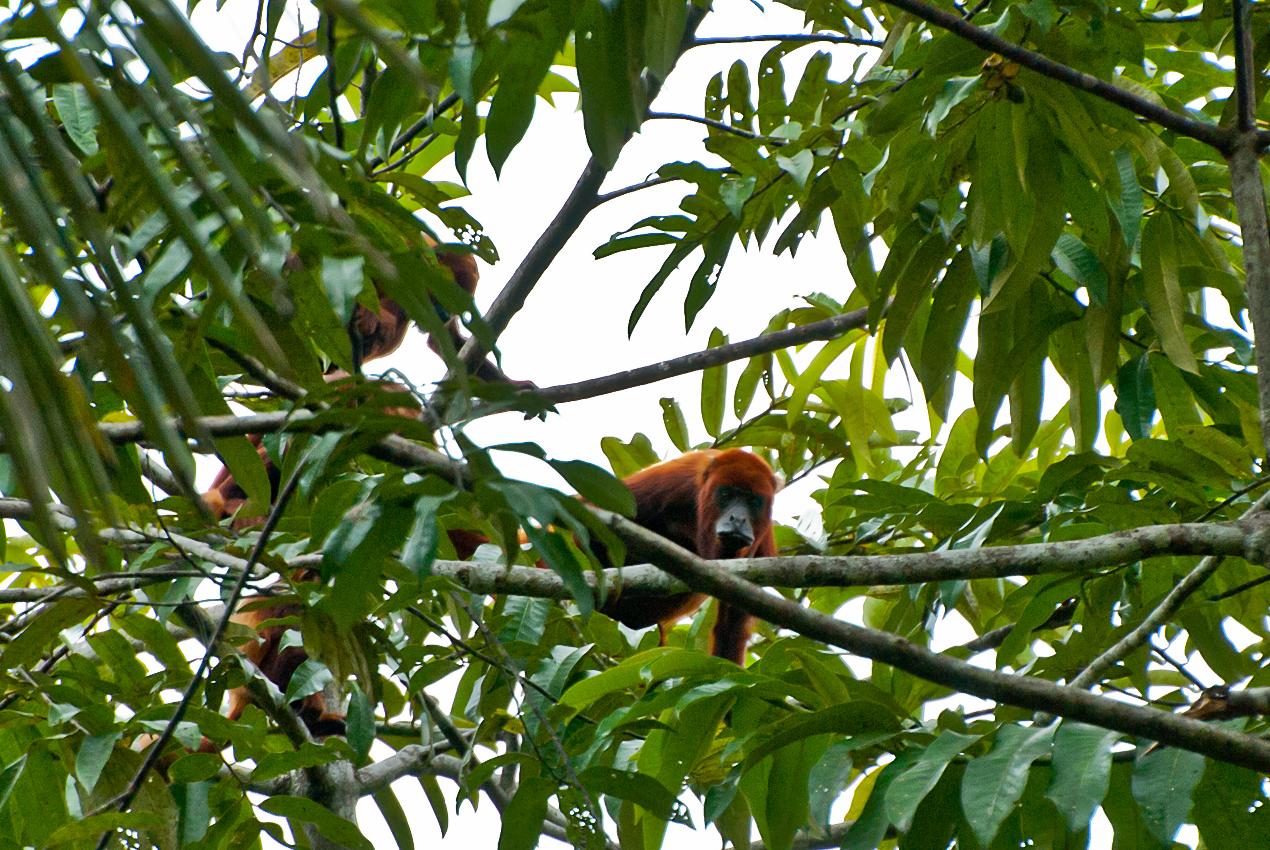 Red Howler monkey (Alouatta Seniculus)