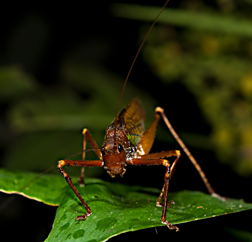 A bush cricket