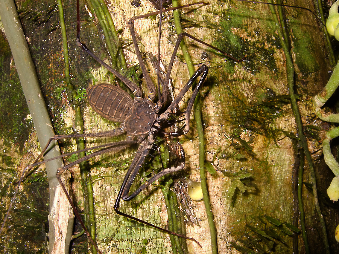 Whip spider (not a spider, order Amblypygi, possibly Heterophrynus sp)