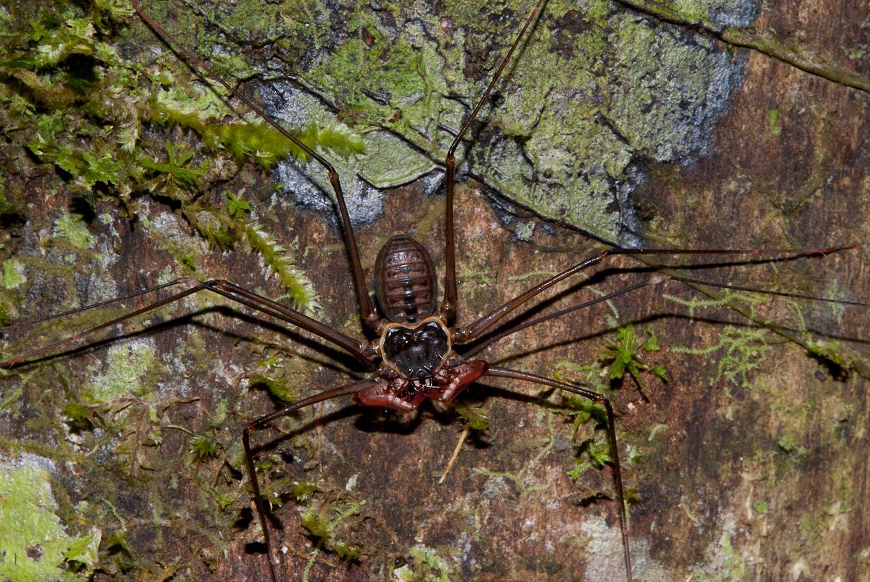 Whip spider (not a spider, order Amblypygi, possibly Heterophrynus sp)