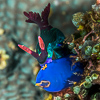 Nembrotha chamberlaini eating the sea squirt Clavelina fusca