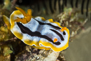 Chromodoris strigata