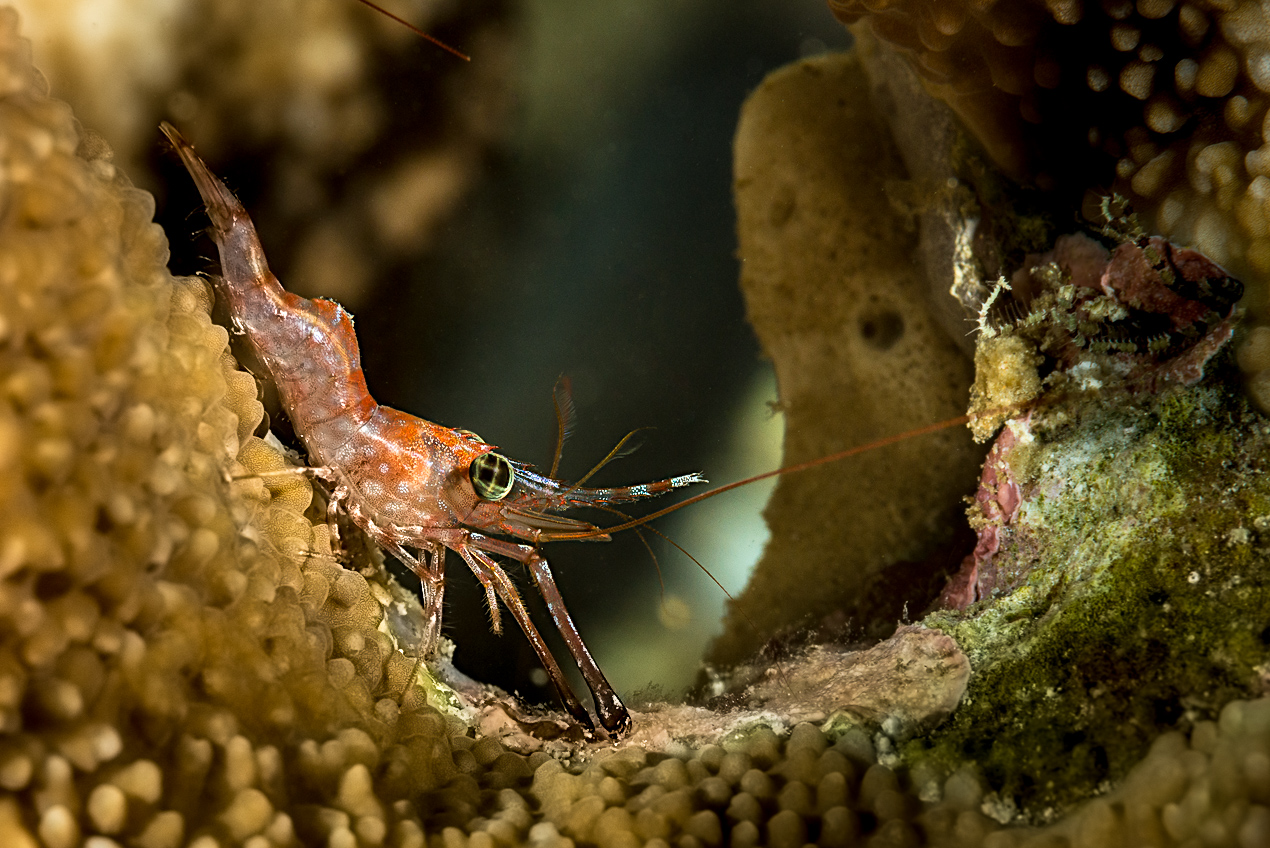 Green-eyed dancing shrimp in Anilao