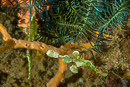 Halimeda ghost pipefish (Solenostomus halimeda)