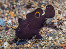a frogfish (Antennarius sp1)