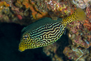 Solor boxfish (Ostracion solorensis)