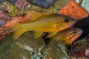 Yellow-lined cardinalfish (Ostorhinchus chrysotaenia)