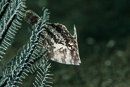 Japanese filefish (Paramonacanthus japonicus)