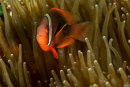 Tomato anemonefish (Amphiprion frenatus)