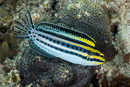 Striped fangblenny (Meiacanthus grammistes)