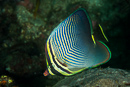 Triangular butterflyfish (Chaetodon triangulum)