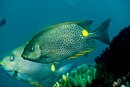 Golden rabbitfish (Siganus guttatus)