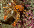 The squat lobster Galathea strigosa on a night dive