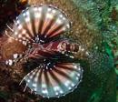 Zebradrakfisk (Dendrochirus zebra)