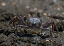 Ghost crab (Ocypode sp) on the beach