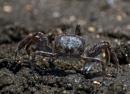 Spökkrabba (Ocypode sp) på stranden