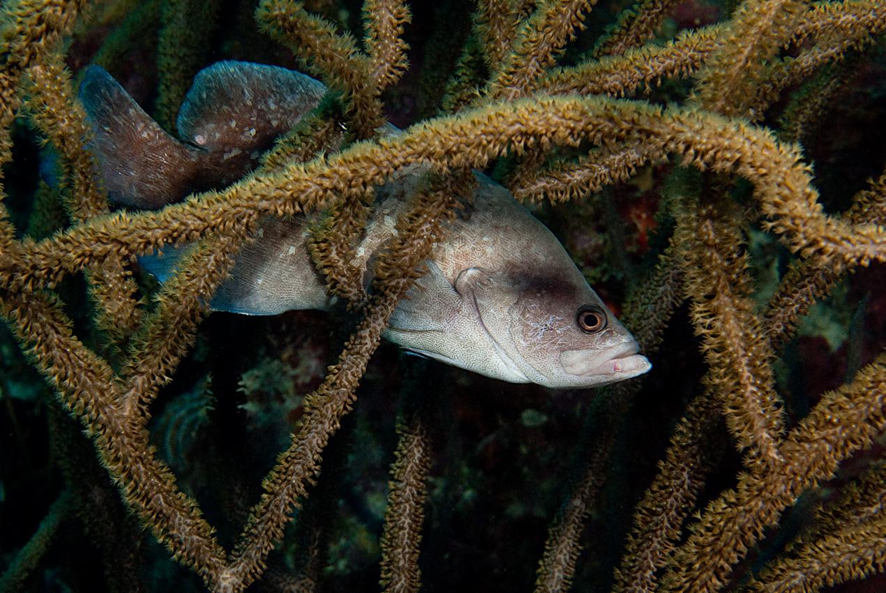 Greater soapfish (Rypticus saponaceus)